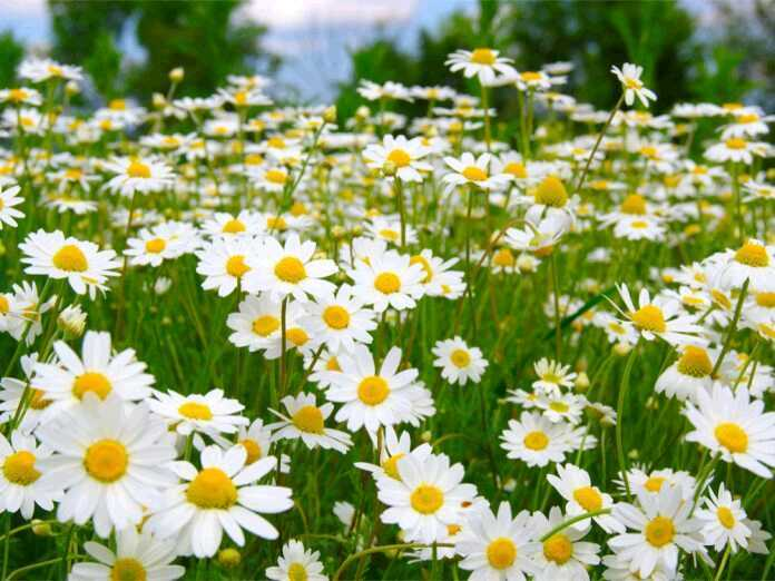 antifungal qualities of chamomile