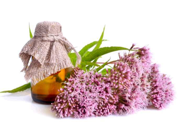 hemp agrimony helps prevent fungal infections